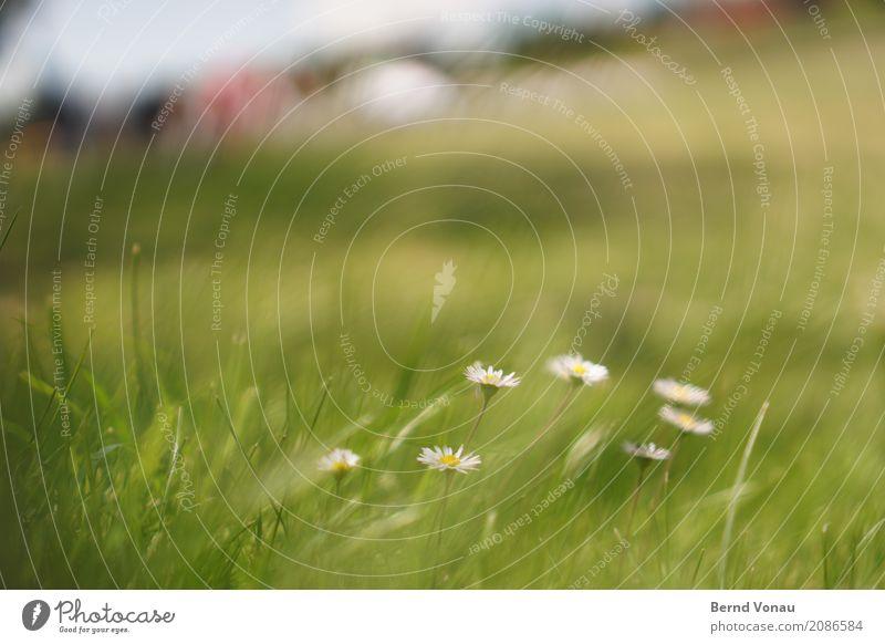 sommerbrise Natur Landschaft Pflanze Sommer Blume Gras authentisch Freundlichkeit hell positiv grün Gänseblümchen Boden Farbfoto Außenaufnahme Nahaufnahme