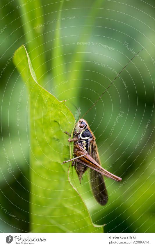 Orthoptera I Natur schön Landschaft Tier Umwelt Wiese Gras Feld Wildtier Geschwindigkeit stark Insekt exotisch krabbeln Nutztier Heuschrecke