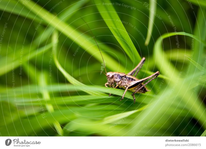 Orthoptera II Lebensmittel Umwelt Natur Landschaft Pflanze Tier Garten Park Wiese Feld Nutztier Wildtier Heuschrecke Jagd schön Gras Schädlinge