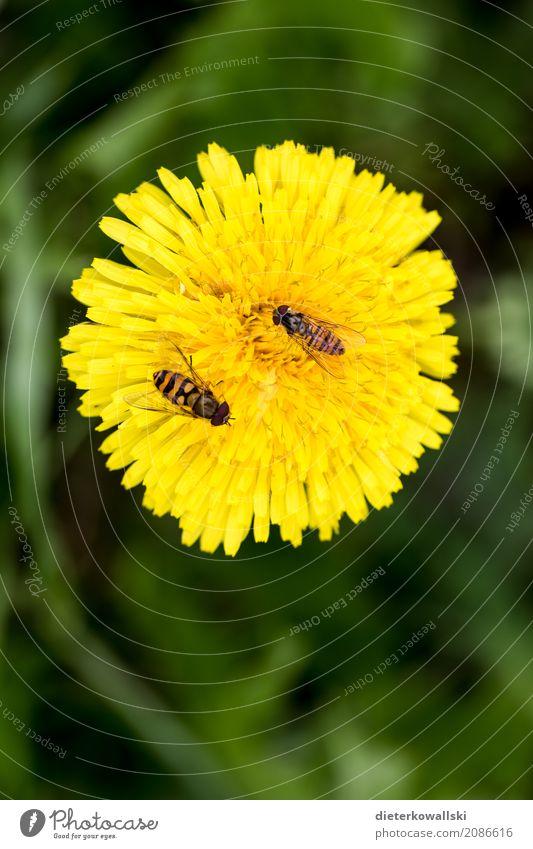Löwenzahn mit Insekten Umwelt Natur Landschaft Pflanze Tier Frühling Sommer Blume Gras Garten Park Wiese Feld Nutztier Wildtier Fliege Biene Flügel fliegen