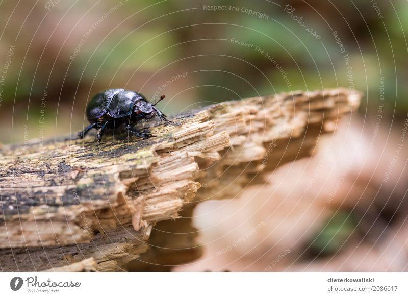 Käfer Umwelt Natur Landschaft Tier Erde Wald Wildtier hässlich natürlich schön Mistkäfer Panzer Waldboden Aasfresser Müllabfuhr Insekt Waldkäfer Waldbewohner