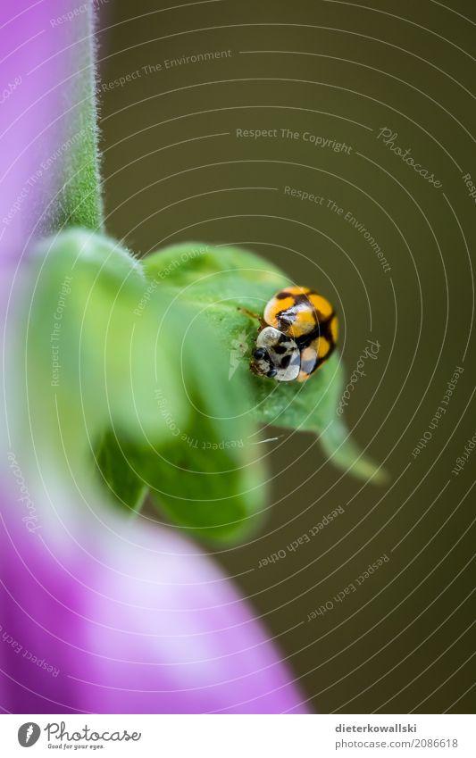 Marienkäfer Umwelt Natur Pflanze Tier Klima Klimawandel Garten Wiese Wald Nutztier Käfer natürlich Insekt Punkt nützlich Kostbarkeit Farbfoto Außenaufnahme Tag