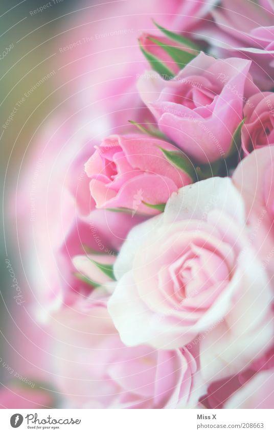 Roses II Pflanze Blume Blüte rosa frisch mehrere Rose weich Kitsch zart Symbole & Metaphern Blühend Duft Blumenstrauß Blütenblatt Rosenblüte
