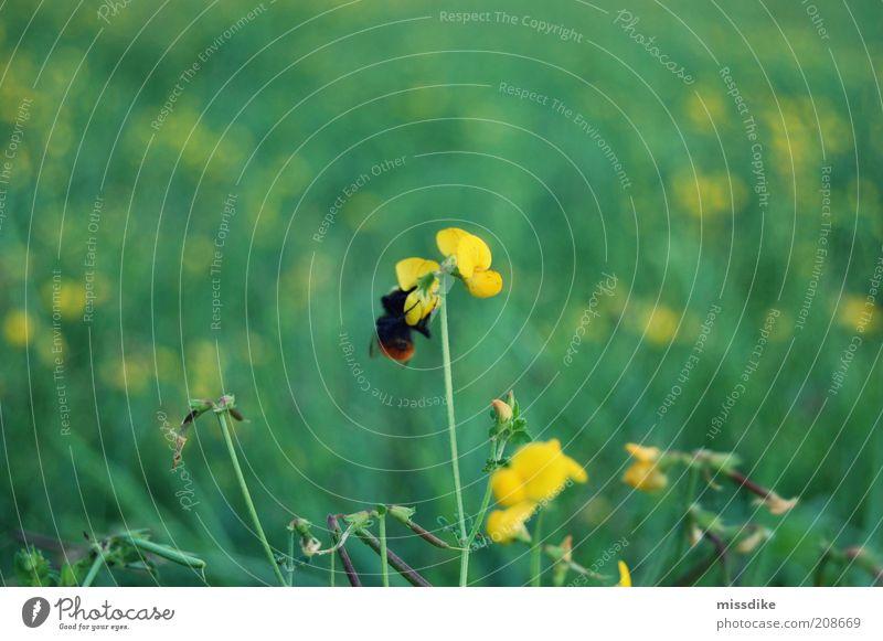 fleißiges bienchen harmonisch Erholung Umwelt Natur Pflanze Tier Frühling Sommer Blume Gras Blüte Wildpflanze Wiese Wildtier Biene Insekt Hummel 1 Blühend