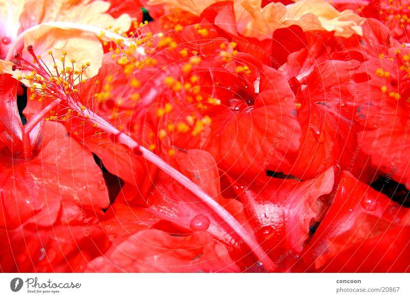 Malaysian flowers schön Blume rot Blüte feucht Geruch saftig Kuala Lumpur