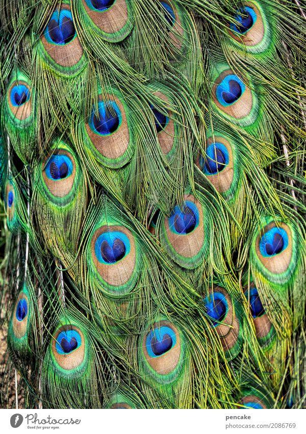 augenaufschlag Tier Vogel Bekanntheit Erfolg fantastisch schön Pfau Pfauenfeder Farbfoto Außenaufnahme Nahaufnahme Detailaufnahme Muster