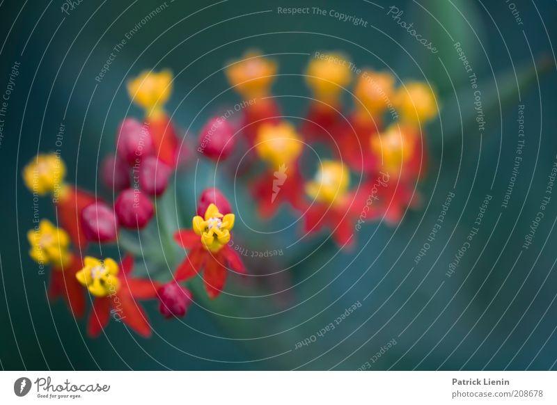 farbenfroh Umwelt Natur Pflanze Sommer Blume Blüte exotisch ästhetisch außergewöhnlich Duft authentisch elegant schön nah Wandelröschen gelb rot mehrfarbig grün