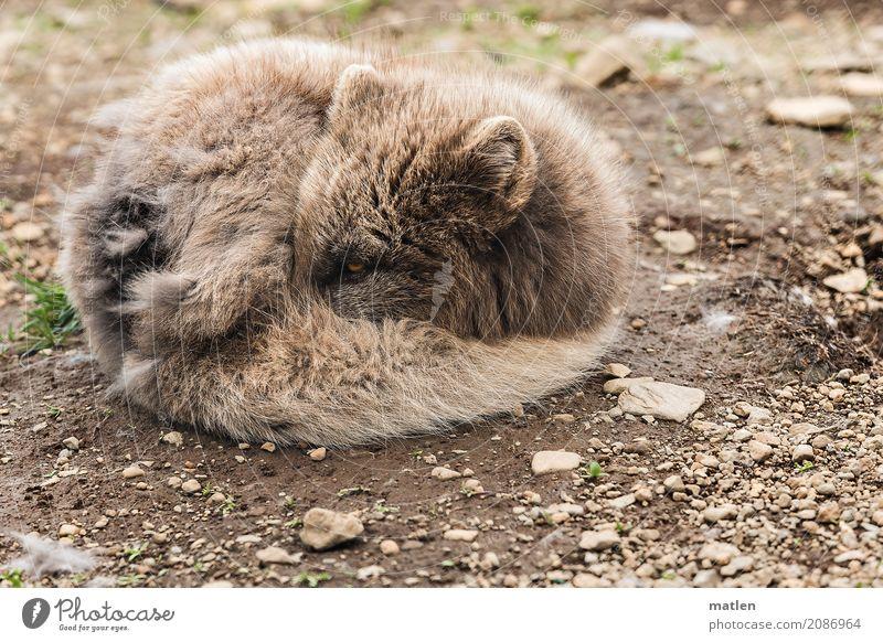 Bündel Tier Tiergesicht Fell 1 schlafen rund braun grau einrollen Zwinkern Polarfuchs Farbfoto Gedeckte Farben Außenaufnahme Menschenleer Textfreiraum links
