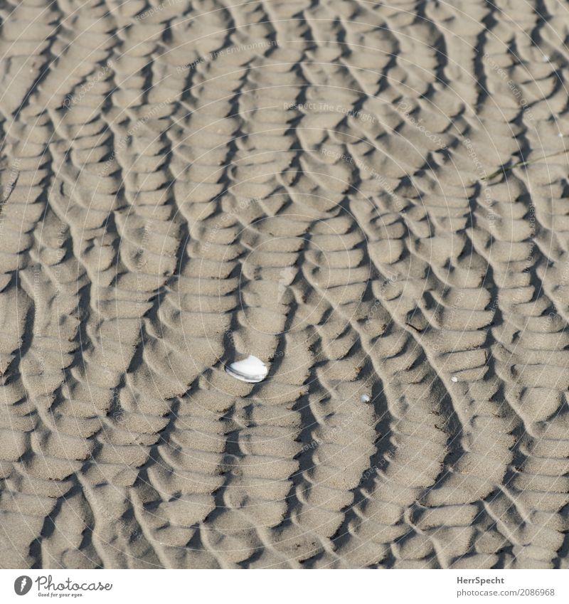 Suchbild Umwelt Natur Tier Wellen Strand Meer Muschel Muschelschale Muschelform Muschelsand 1 ästhetisch maritim natürlich braun Rippen Sandverwehung
