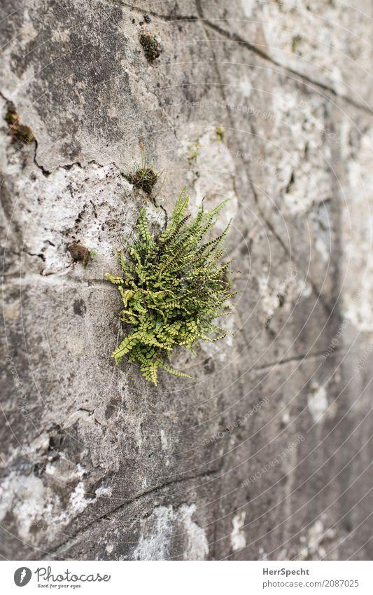 Sprössling Natur Pflanze Farn Blatt Grünpflanze Park Altstadt Bauwerk Mauer Wand Armut natürlich rebellisch trocken grau grün Einsamkeit einzeln Farnblatt