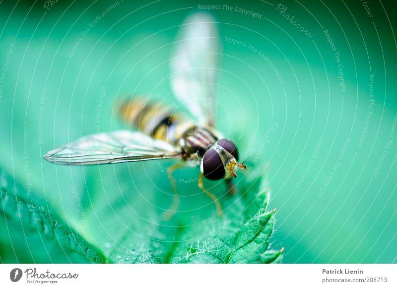 neugierig, was? Umwelt Natur Tier Sommer Pflanze Blatt Wildtier Fliege Tiergesicht Flügel 1 sitzen Schweben Auge groß Brennnessel Schwebfliege schön grün leicht