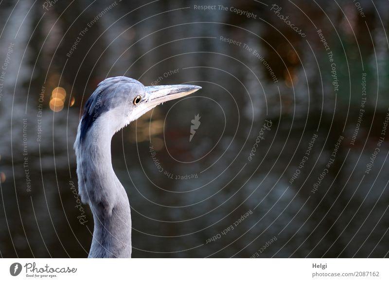 alles im Blick ... Umwelt Natur Tier Wasser Winter Amsterdam Stadt Wildtier Vogel Graureiher 1 stehen außergewöhnlich einzigartig natürlich gelb grau schwarz