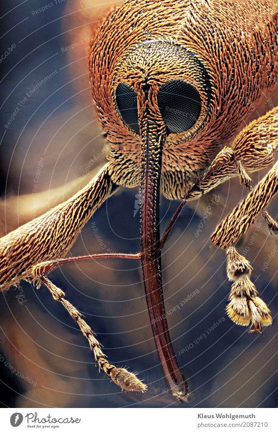 Kein Schnabeldoctor Umwelt Natur Tier Frühling Sommer exotisch Totes Tier Käfer Tiergesicht Krallen Pfote Eichelbohrer 1 Mikroskop blau braun gelb grau orange