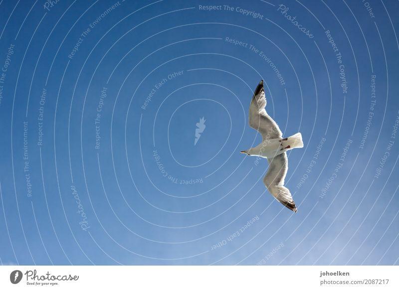 Urlaubsflieger Himmel nur Himmel Wolkenloser Himmel Schönes Wetter Küste Meer Schifffahrt Hafen Tier Wildtier Vogel Möwe Silbermöwe 1 fliegen hoch schleimig