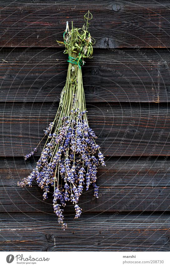 LAVENDEL Natur Blume Pflanze Sommer Blüte Frühling braun Kräuter & Gewürze violett Dekoration & Verzierung Duft Holz Nostalgie Lavendel getrocknet hängend