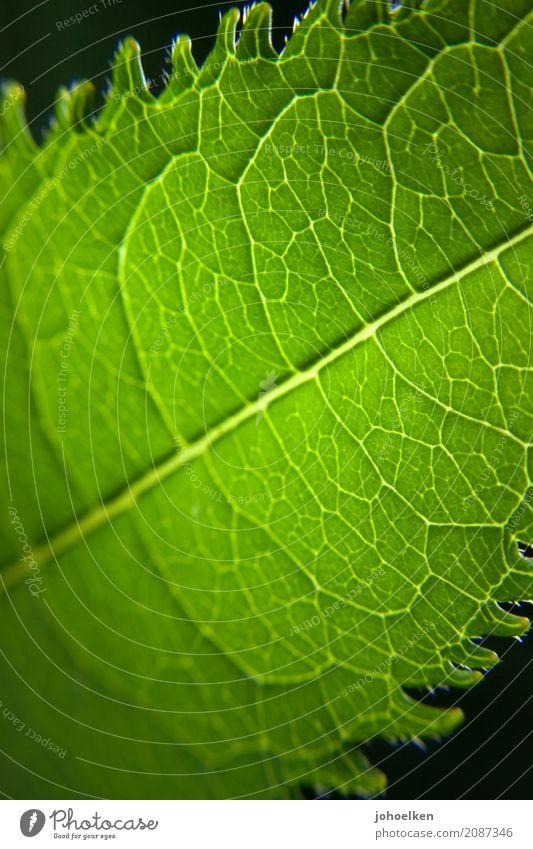 Grüne Lunge Umwelt Pflanze Sträucher Blatt Blattadern netzartig Urwald atmen leuchten frisch grün schwarz Reinheit Farbe Gesundheit Hoffnung Klima Natur