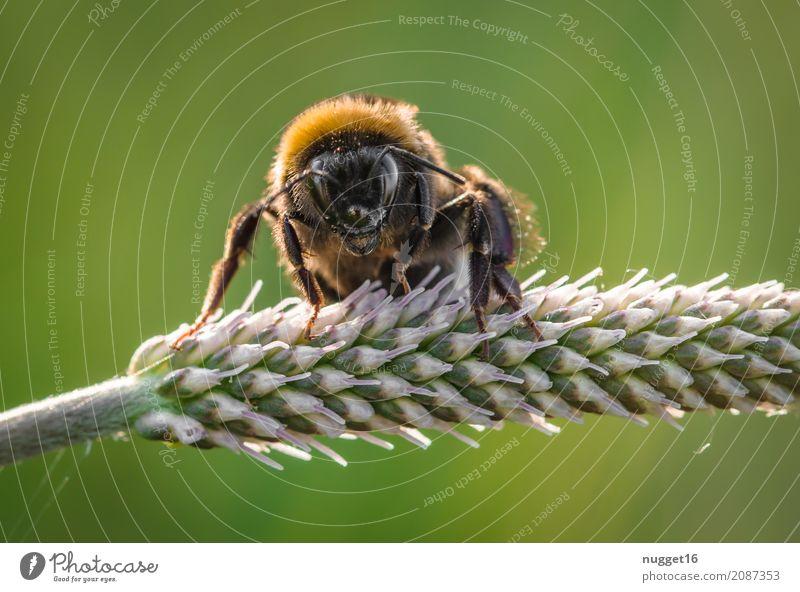 Hummel Umwelt Natur Tier Frühling Sommer Herbst Schönes Wetter Pflanze Gras Grünpflanze Wildpflanze Garten Park Wiese Wildtier Biene Tiergesicht Flügel 1