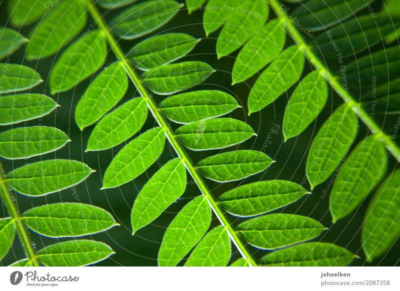 Leitergruen Umwelt Natur Pflanze Sträucher Blatt Grünpflanze Wald Urwald atmen weich gelb grün Idylle Wachstum Blattadern Ranke Farbfoto Außenaufnahme