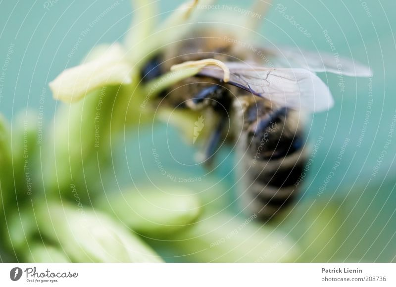 busy bee Natur Blume grün Pflanze Sommer ruhig Tier Arbeit & Erwerbstätigkeit Wiese Blüte Körper Umwelt Flügel zart Biene Wildtier