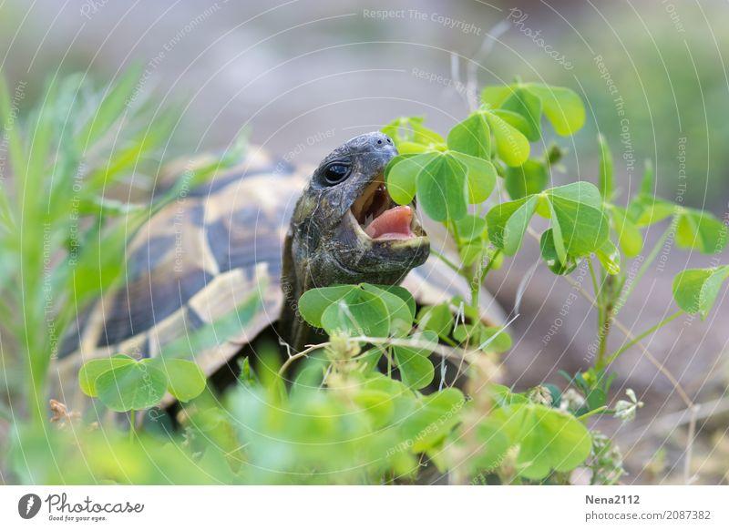 <<< 500 >>> Langsam aber sicher :) Umwelt Natur Tier 1 grün Schildkröte Schildkrötenpanzer Reptil Fressen Essen Klee Kleeblatt Haustier Wildtier Farbfoto