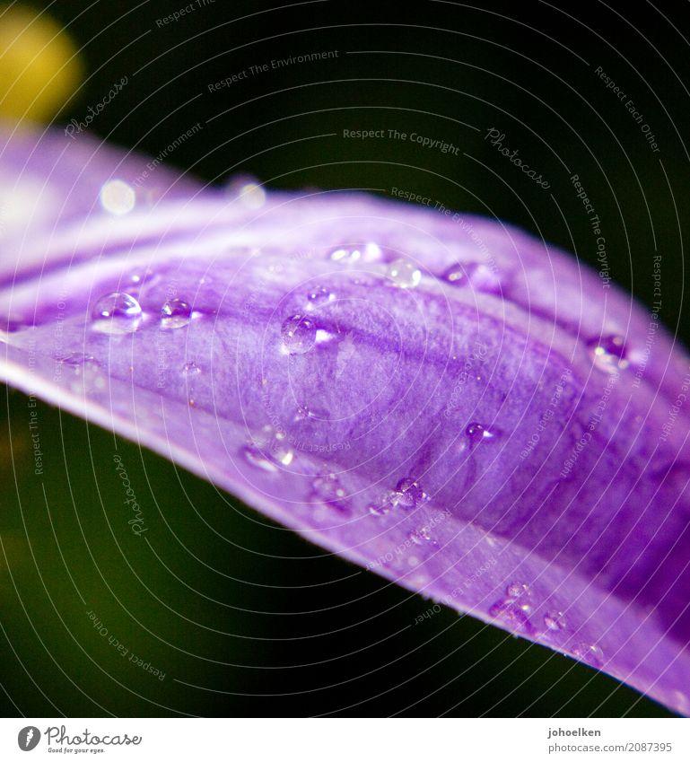 Nebeltau II Natur Pflanze grün Wasser Blume ruhig Religion & Glaube Blüte leuchten glänzend Wassertropfen Vergänglichkeit Hoffnung Wellness violett
