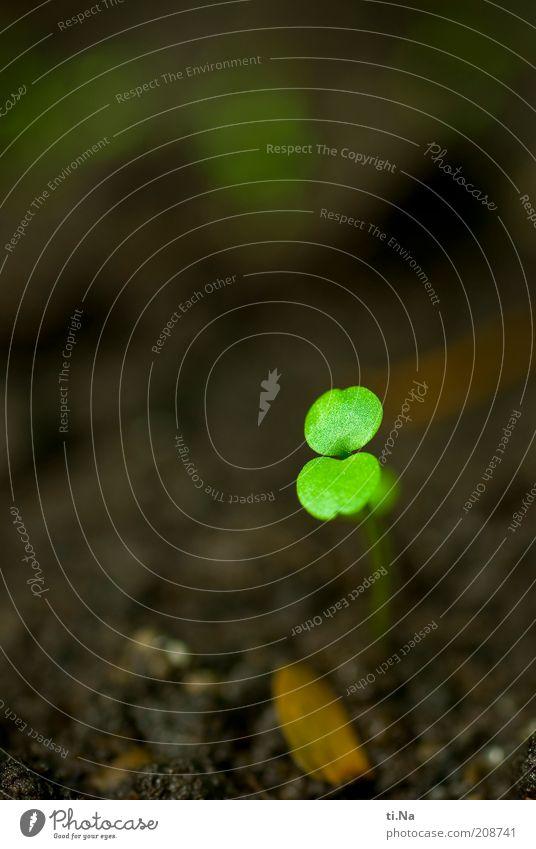 das Leben geht weiter Umwelt Natur Erde Pflanze Sämlinge Garten Wachstum klein natürlich braun grün Farbfoto Gedeckte Farben Außenaufnahme Nahaufnahme