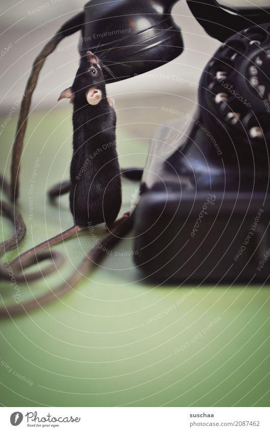 telefonieren mäuse? Maus Tier Haustier Säugetier Schwanz Kabel Telefongespräch Telekommunikation Telefonhörer Hörmuschel altes Telefon Wählscheibe