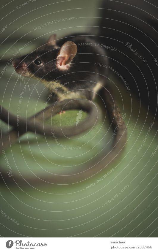 kabelmaus Maus Haustier Nagetiere Säugetier tierisch Ohr Fell schwarz äuglein Vorsicht Angst niedlich süß klein winzig Kabel Telefon entdecken Neugier Ekel