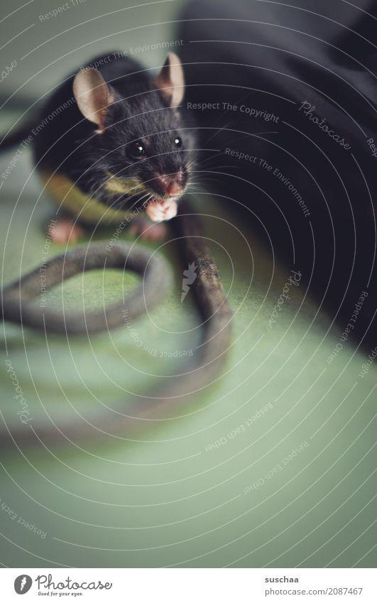 kabelmaus Maus Tier Haustier Säugetier Ohr Äuglein Pfote Hand Kabel Neugier Verbindung Büro tierisch lustig altes Telefon Telefongespräch Vorsicht winzig klein