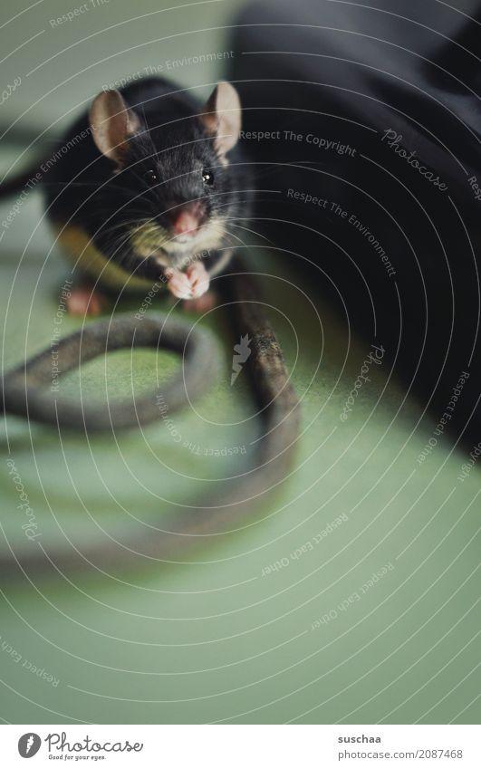 kabelmaus Maus Tier Haustier Säugetier Ohr Äuglein Kabel Neugier Verbindung Büro tierisch lustig altes Telefon Telefongespräch Vorsicht winzig klein süß