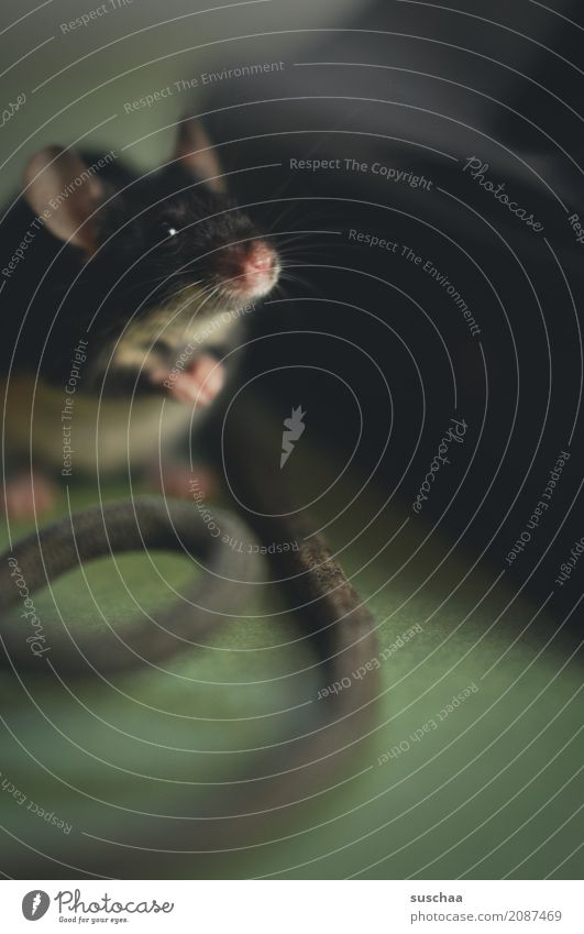 kabelmaus Maus Tier Haustier Säugetier Ohr Äuglein Schnauze Schnurrhaar Kabel Neugier Verbindung Büro tierisch lustig altes Telefon Telefongespräch Vorsicht