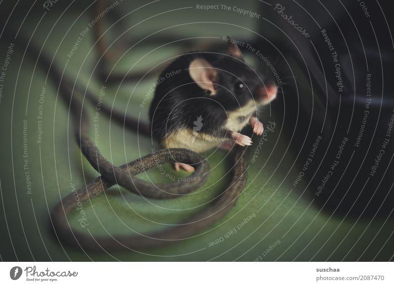 kabelmaus Maus Tier Haustier Säugetier Ohr Hand Pfote Äuglein Kabel Neugier Verbindung Büro tierisch lustig altes Telefon Vorsicht winzig klein süß niedlich