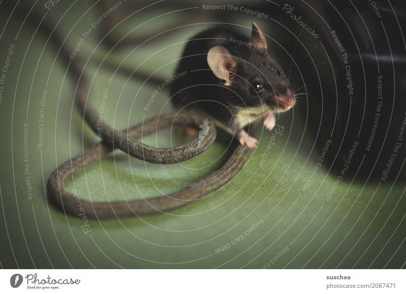 kabelmaus Maus Tier Haustier Säugetier Ohr Hand Kabel Neugier Verbindung Büro tierisch lustig altes Telefon Vorsicht winzig klein süß niedlich Angst Ekel