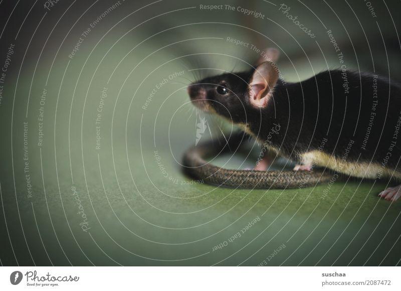 kabelmaus Maus Tier Haustier Säugetier Ohr Kabel Neugier Verbindung Büro tierisch lustig altes Telefon Vorsicht winzig klein schön Nagetiere kleines Säugetier