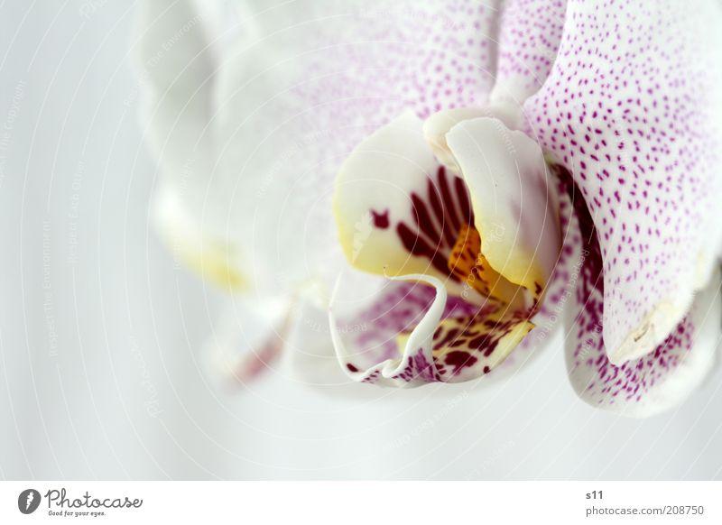Beauty Pflanze Sommer Blume Blüte exotisch Orchidee ästhetisch Duft frisch schön modern natürlich gelb violett rosa weiß Gefühle Glück phalaenopsis Stempel