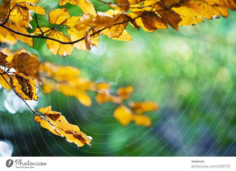 Herbstbeginn Natur Sonnenlicht Baum Blatt Buche Buchenblatt Herbstlaub herbstlich Herbstwetter Herbstfärbung Herbstlandschaft Ast Zweige u. Äste alt verblüht