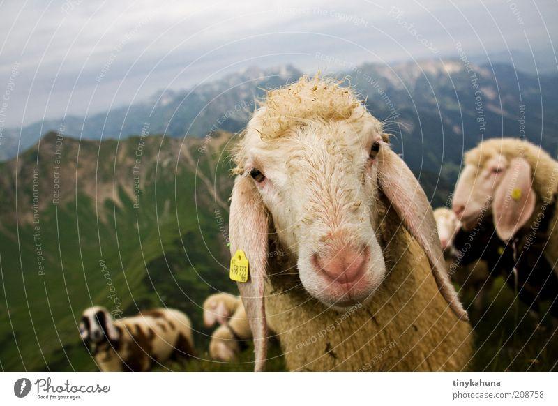 Was guckst du?! Ausflug Sommer Berge u. Gebirge Landschaft Tier Alpen Allgäu Wolle Nutztier Tiergesicht Schaf Herde Blick natürlich Neugier Tierliebe Natur