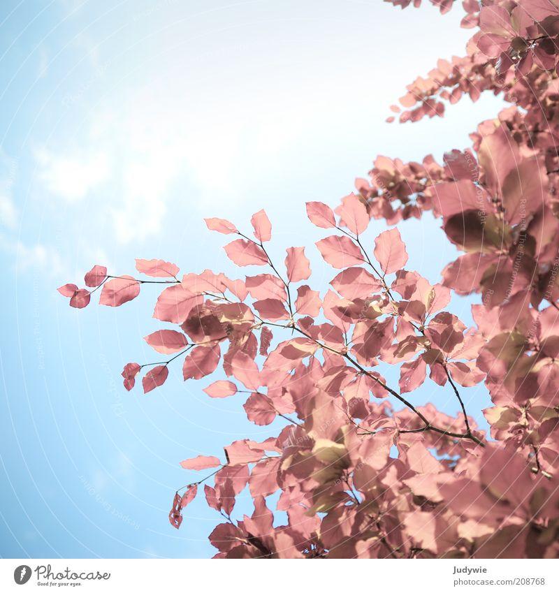Rosarote Blässe Natur Himmel Baum Sonne blau Pflanze Sommer Blatt Gefühle Frühling träumen rosa Umwelt frei Hoffnung ästhetisch