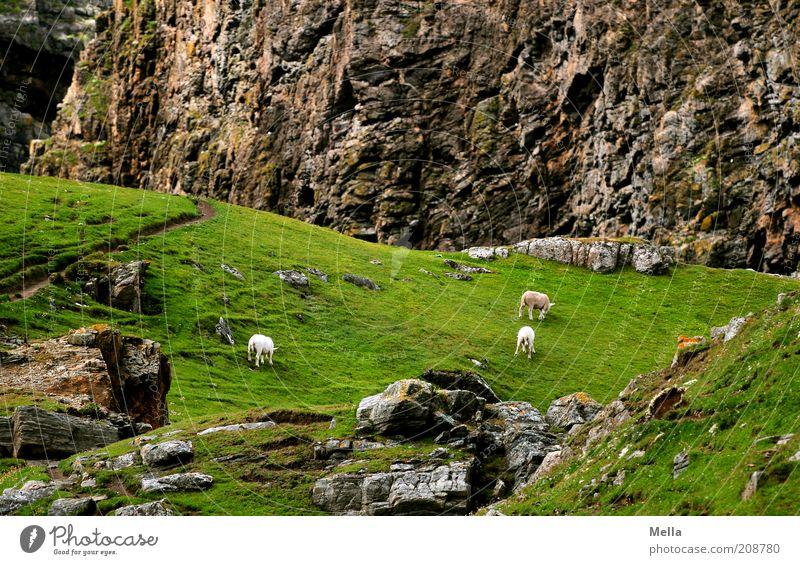 Scha(r)fkantig Umwelt Natur Landschaft Wiese Felsen Berge u. Gebirge Tier Nutztier Schaf 3 Fressen Geröll Stein Idylle Farbfoto Außenaufnahme Menschenleer Tag