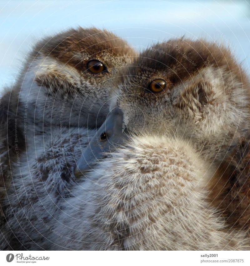 Zwei Augen... Tier Tiergesicht Gans Nilgans 2 Tierjunges beobachten Blick frech Neugier braun weich Schnabel Geschwister Küken Zusammensein niedlich Farbfoto