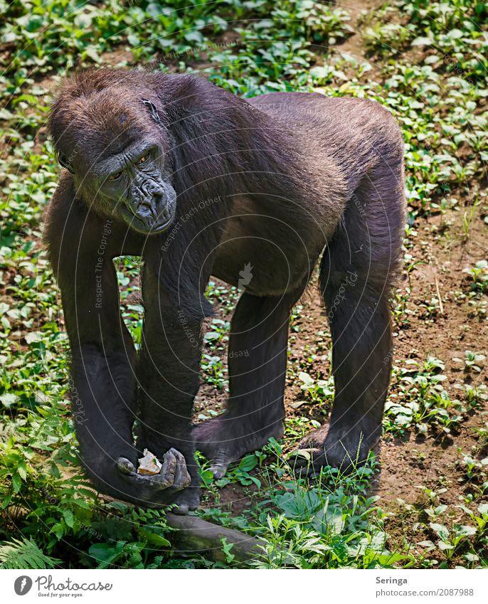 Hinter Gittern Tier Wildtier Tiergesicht Fell Pfote Fährte Zoo 1 Fressen hängen Affen Gorilla Farbfoto mehrfarbig Außenaufnahme Innenaufnahme Menschenleer Tag