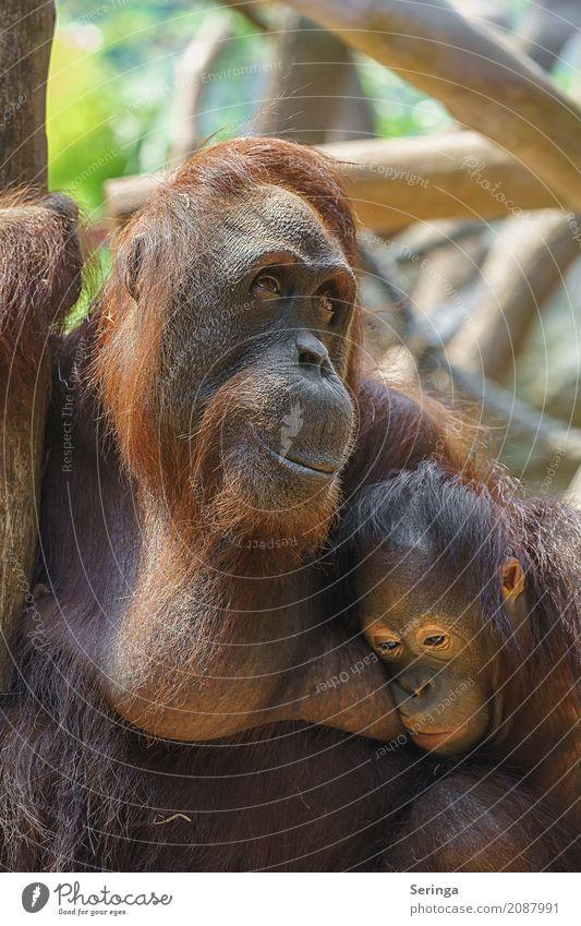Sorgen einer Mutter Tier Tierjunges Traurigkeit braun Tierpaar Wildtier Fell hängen Tiergesicht Zoo Pfote Affen Tierfamilie