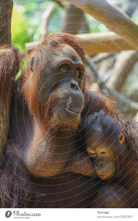 Sorgen einer Mutter Tier Wildtier Tiergesicht Fell Pfote Zoo 2 Tierpaar Tierjunges Tierfamilie hängen Traurigkeit Affen braun Farbfoto mehrfarbig Außenaufnahme