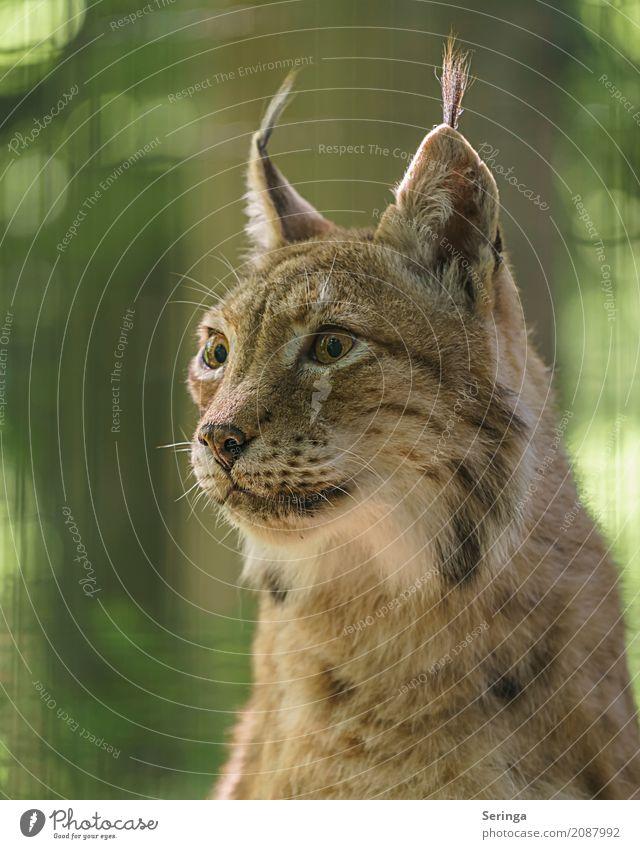 Scharfblick Tier Wildtier Katze Tiergesicht Fell Zoo 1 beobachten Auge Ohr Landraubtier Luchs Farbfoto mehrfarbig Außenaufnahme Detailaufnahme Menschenleer