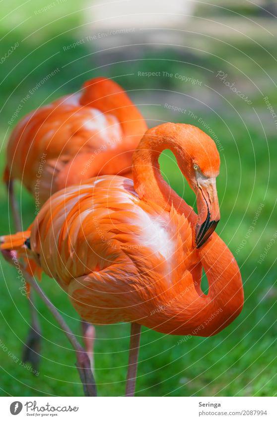 Leuchtendes Inferno Wasser Frühling Sommer Gras Tier Wildtier Vogel Flamingo Tiergesicht Flügel Zoo 1 leuchten orange Schnabel Feder Erholung Farbfoto