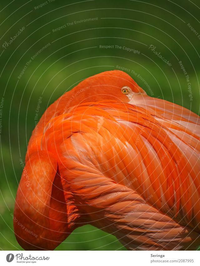 Schulterblick Tier Wildtier Vogel Flamingo Tiergesicht Flügel 1 Blick orange orange-rot leuchten leuchtende Farben Auge Metallfeder Farbfoto mehrfarbig