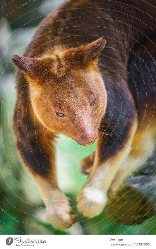 Nicht ausgestopft :) , Baumkänguru im Zoo Schönes Wetter Tier Wildtier Tiergesicht Fell Krallen Pfote 1 hängen Känguruh braun Farbfoto Gedeckte Farben