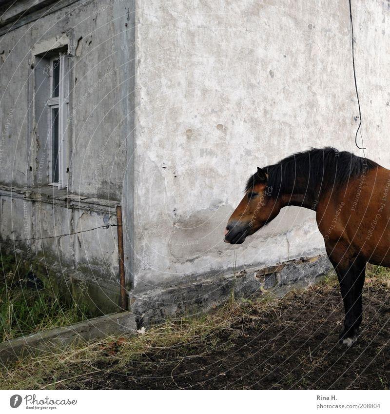 Es steht ein Pferd im Garten Haus Tier braun Armut Pferd trist stehen Haustier ländlich Mensch krankhaft