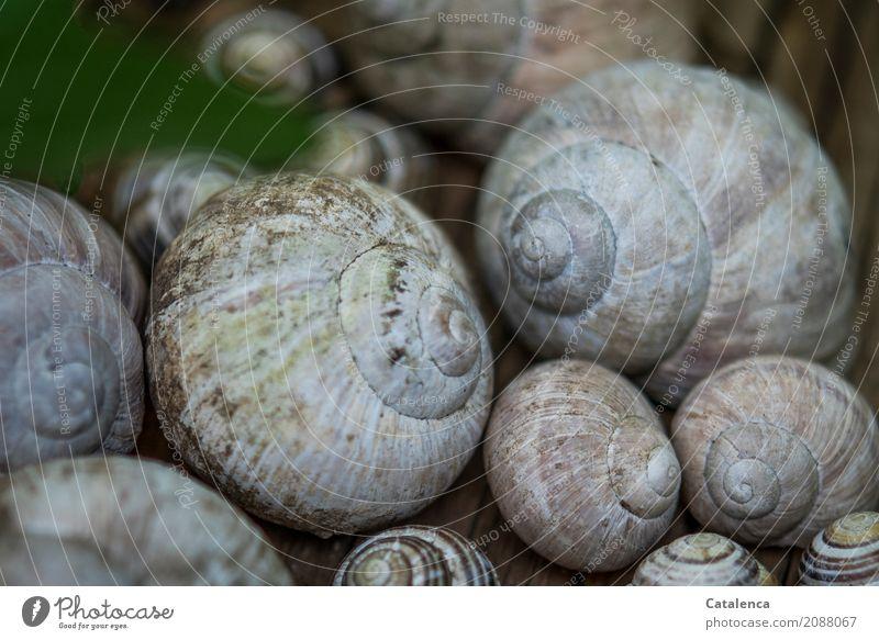 Schneckenhäuser Natur Tier Garten Weinbergschnecken Tiergruppe Schneckenhaus ästhetisch braun grau grün rosa schwarz unbeständig Leerstand Umwelt