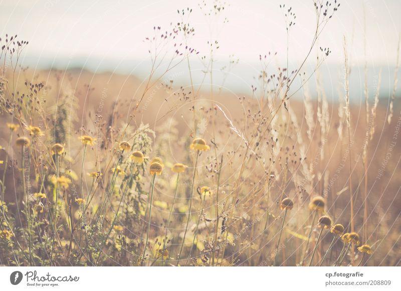 alles hat ein Ende ... Sommerwiese Natur Sonne Blume Pflanze Einsamkeit Wiese Blüte Gras Horizont Ausflug beobachten Lebensfreude Sehnsucht natürlich genießen